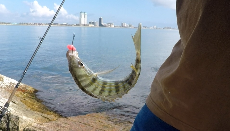 South texas kingfish report open saltwater discussion for South texas fishing