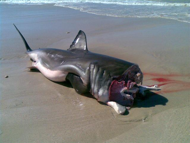 great white shark fishing images