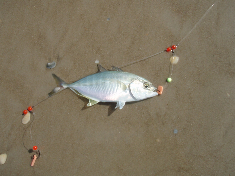 Shark fishing news you connections to the bite for Surf fishing for sharks