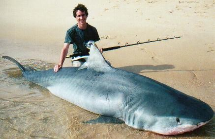 large tiger shark